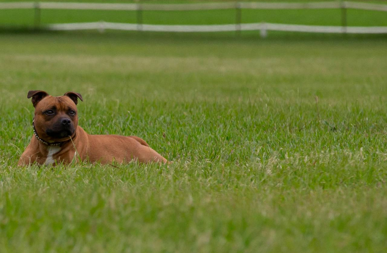 Brown staffordshire bull terrier lying on the grass, brown staffie lying on the grass