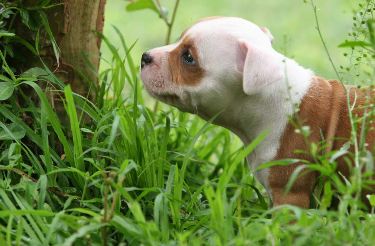 White and brown staffordshire bull terrier puppy in the grass, white and brown staffie in the grass