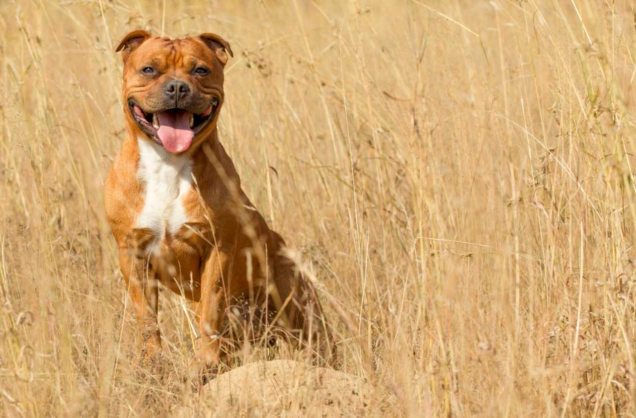 Brown and white staffordshire bull terrier sitting in the bush, brown and white staffie sitting in the bush