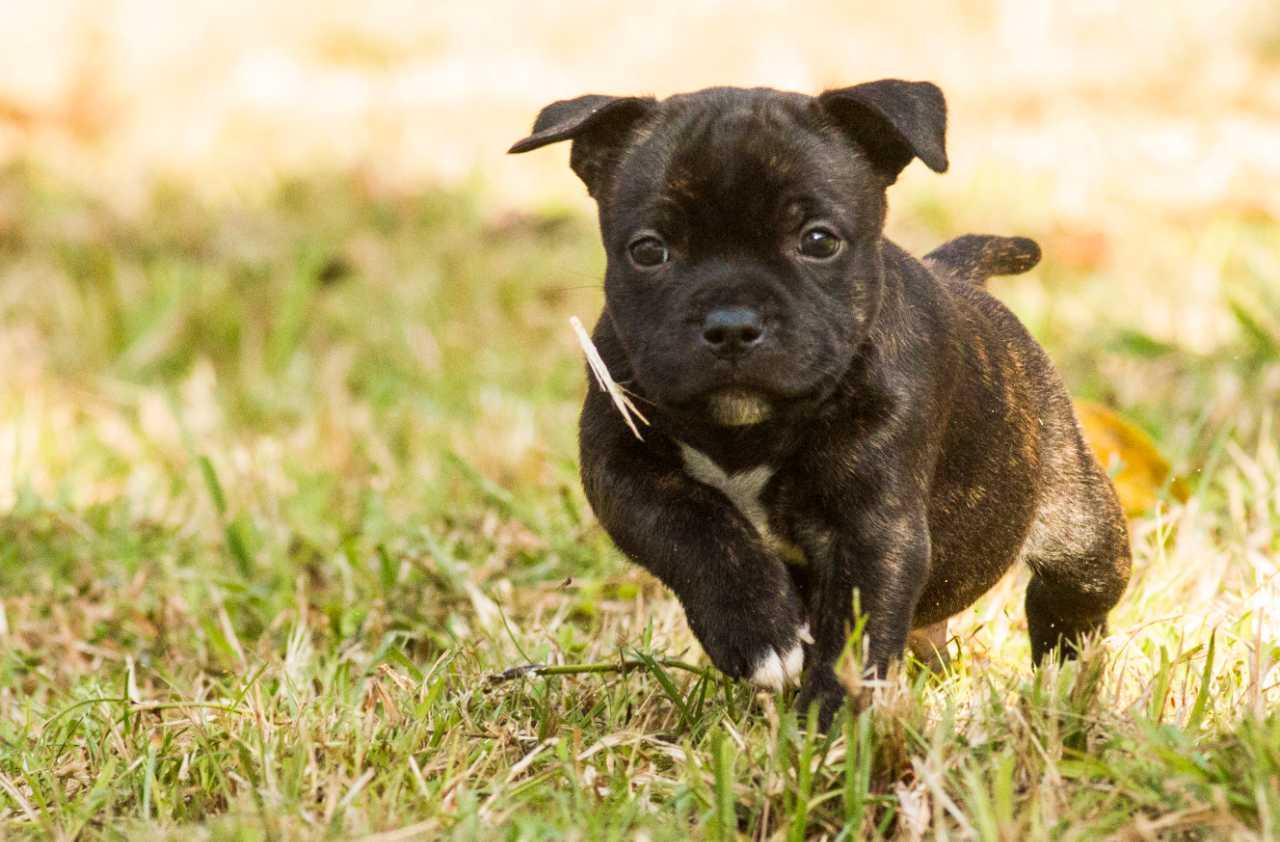 Black and brown staffordshire bull terrier puppy running on the grass, black and brown staffie puppy running on the grass