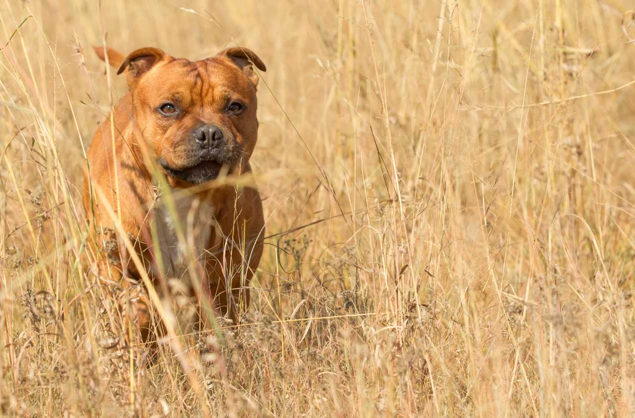 Brown and white staffordshire bull terrier outside in the bush, brown and white staffie outside in the bush