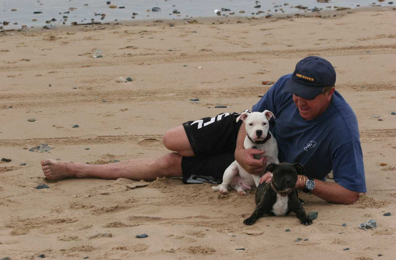White and black american staffordshire terrier puppies in front of a man on the beach, White and black amstaff puppies in front of a man on the beach