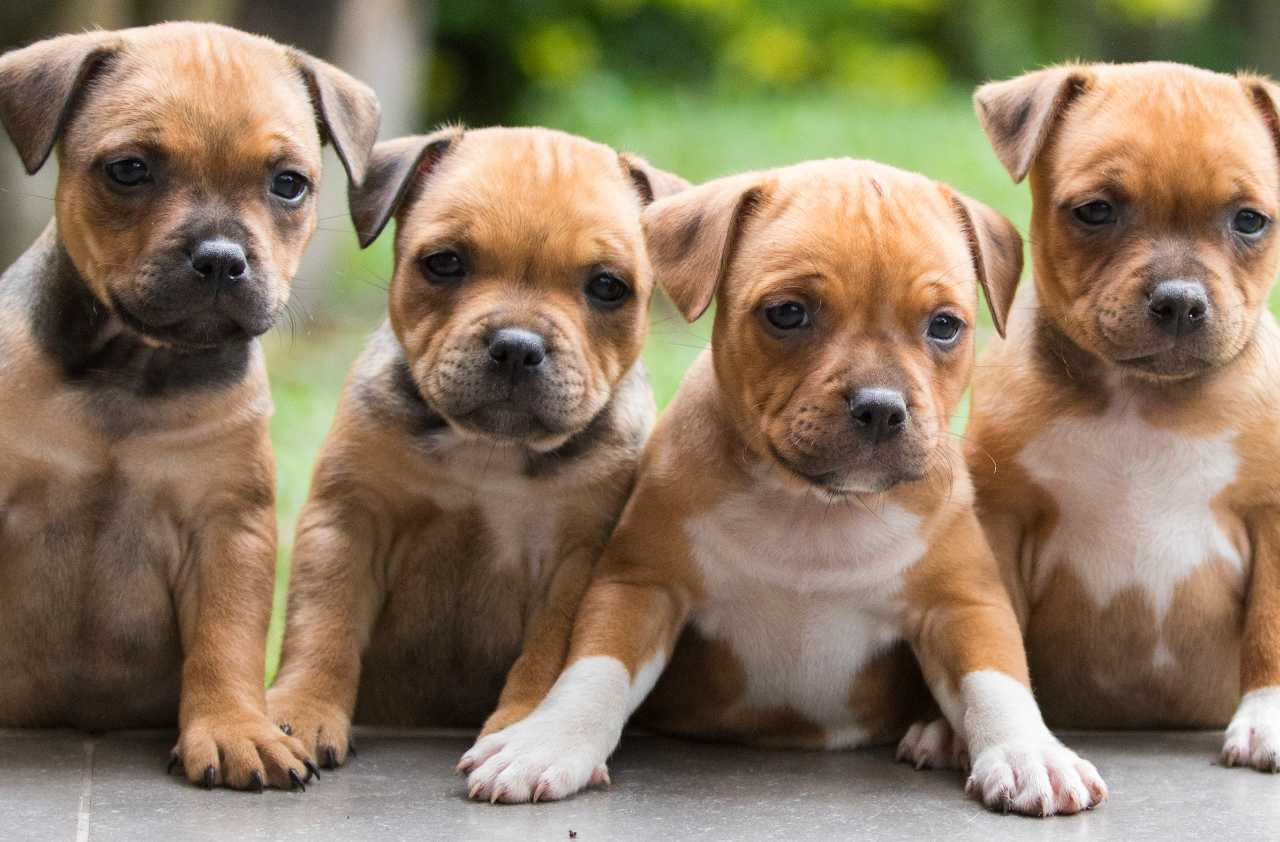 Brown and white staffordshire bull terrier puppies, Brown and white staffie puppies