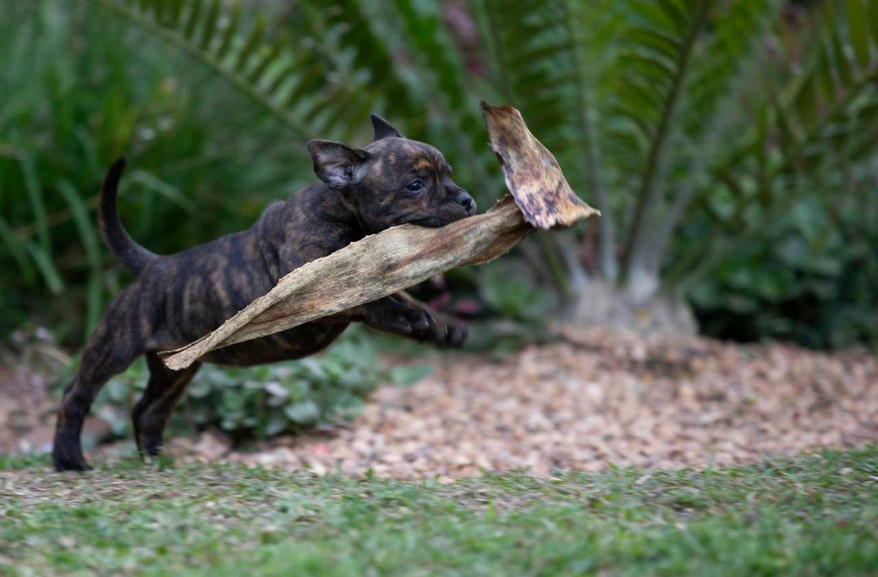 Brown and black staffordshire bull terrier puppy with a dried up succulent leaf in its mouth running on the grass, brown and black staffie puppy with a dried up succulent leaf in its mouth running on the grass