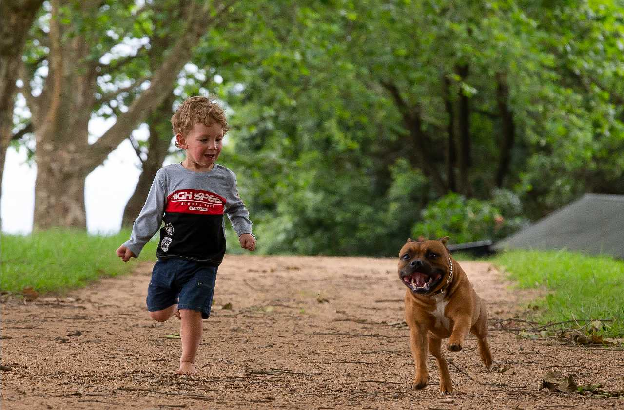 Brown staffordshire bull terrier running outside on the sand with a child, brown staffie running outside on the sand with a child